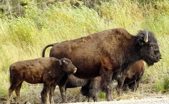 Buffalo adds CMS to distribution herd